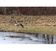 Goose in Spring Photographic Print