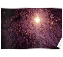 New Day - Sun Through Cherry Blossoms Poster