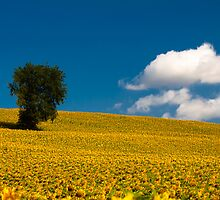 sunflowers field by ratto
