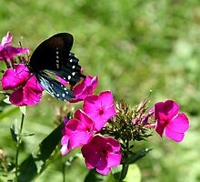 Spicebush Swallowtail, Female #2 by Paula Tohline  Calhoun