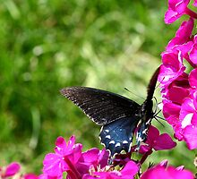 Spicebush Swallowtail, Female #3 by Paula Tohline  Calhoun