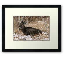 Fawn in Snow Framed Print