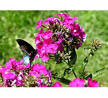 Spicebush Swallowtail, Female #5 Photographic Print