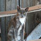 Barn Cat on a Shelf by KelseyGallery