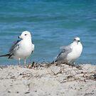 Miami Gulls by KimSha