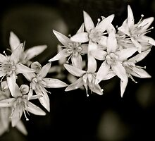 White Flowers by Kate Halpin