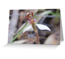Little bush people. Parson's Bands - Eriochilus cucullatus Greeting Card
