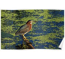 There's the Green ... Heron Poster