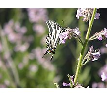 Pale Swallowtail and Bokeh Photographic Print