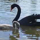 Mum and Bub. Black Swan - Cygnus atratus by Lydia Heap