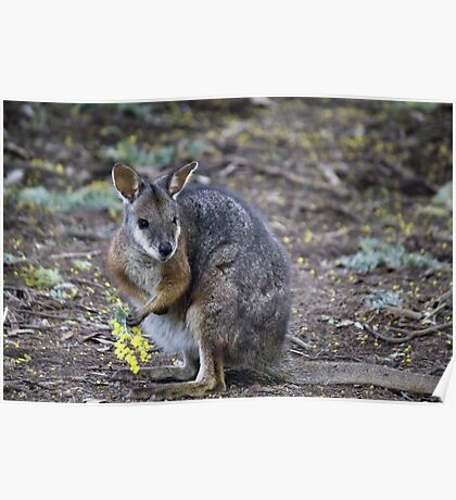 Wattle Wallaby Poster
