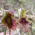 Beards are the fashion. Red Beard Orchid- Calochilus paludosus; Purple Beard Orchid - Calochilus robertsonii  by Lydia Heap