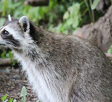 Raccoon by theartguy