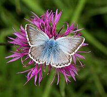 Male Chalkhill Blue by Neil Ludford