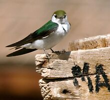 Violet-Green Swallow by Clyde  Smith