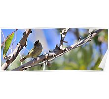 Striated Thornbill Poster