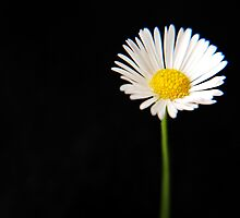 Pretty little daisy by BecDphotography