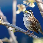 White-throated Sparrow A Capella by Michaela Sagatova