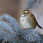 White-throated Sparrow  by Michaela Sagatova