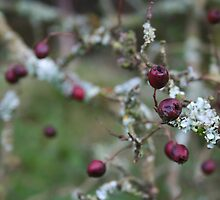 Winter Tintern Berries by Amanda Clegg