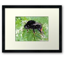 Red Tailed Bumble Bee 01 Framed Print
