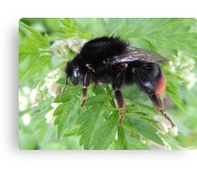Red Tailed Bumble Bee 01 Canvas Print