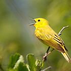 Yellow Warbler A Capella by Michaela Sagatova