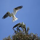 White Tailed Kite Love by DARRIN ALDRIDGE
