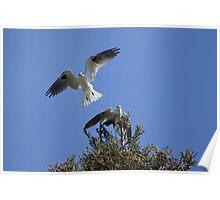 White Tailed Kite Love Poster