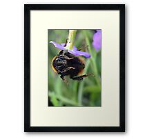Bumble Bee 05 Framed Print