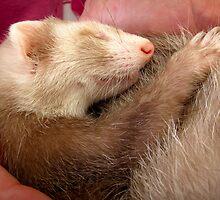 Sleeping ferret by neverwinter