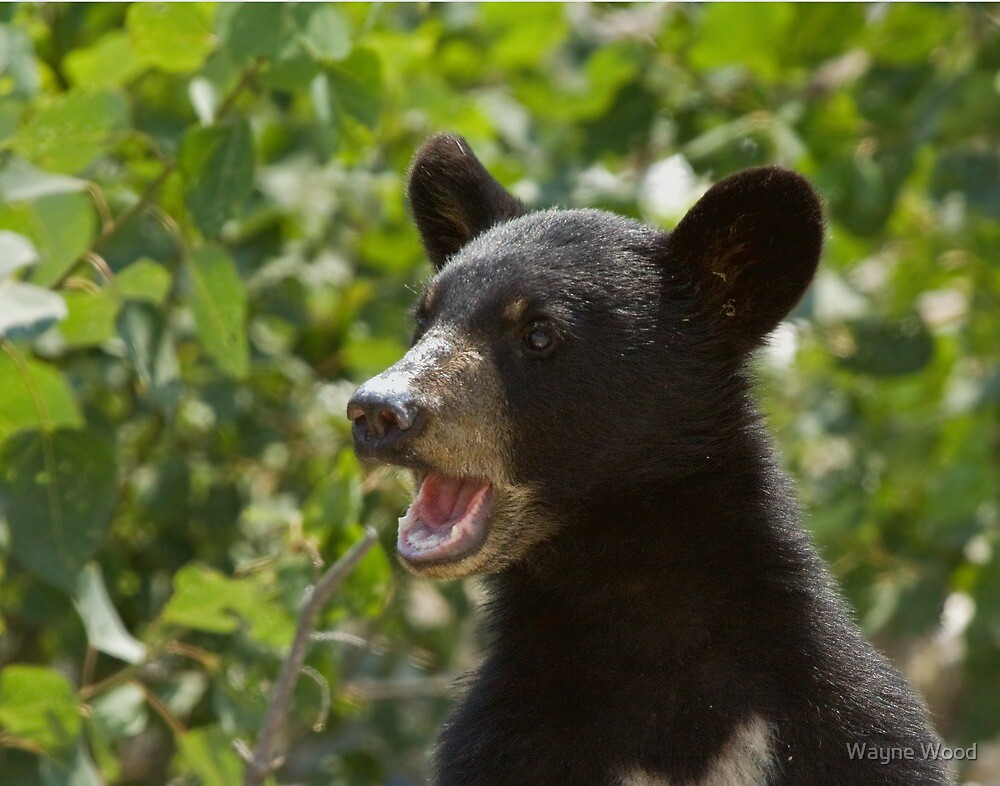 Black Bear Cub by Wayne Wood