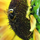 Bumble Bee in Action by karina5