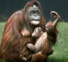 Orangutan Mother and Baby by Patricia Jacobs CPAGB LRPS BPE2