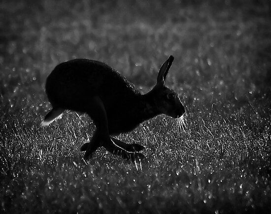Hare Silhouette by Patricia Jacobs CPAGB LRPS BPE3