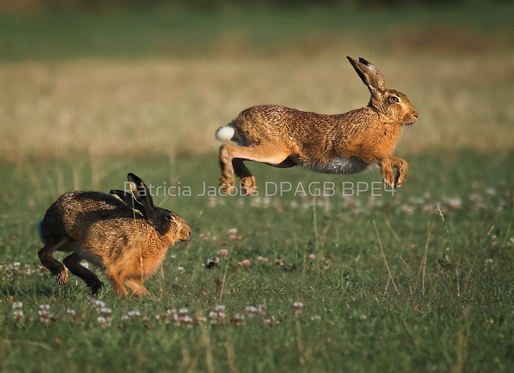 Hare Chase by Patricia Jacobs CPAGB LRPS BPE4