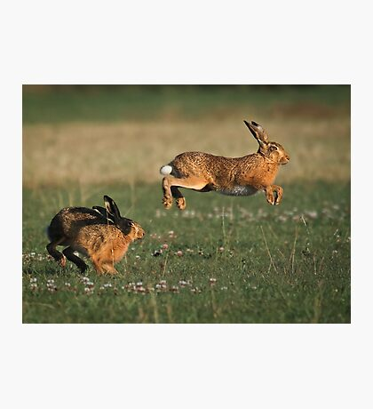Hare Chase Photographic Print