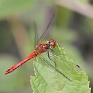 Ruddy Darter by dilouise