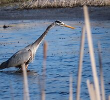 Heron Hunting At Sweet Marsh by Deb Fedeler