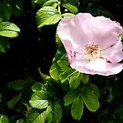 Dog rose by bubblehex08