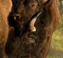 Wildlife Olympics - Bison Headlock, Wrestling Moves In The Wild by A.M. Ruttle