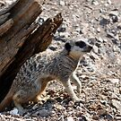 Meerkat 1 (series) by Darren Bailey LRPS