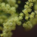 Wattle Flowers by Keith G. Hawley