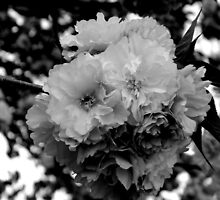 PLEASE VIEW LARGE -Cherry Blossom Tree in B&W   ^ by ctheworld