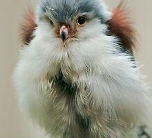 Pygmy Falcon by sshhoirtt