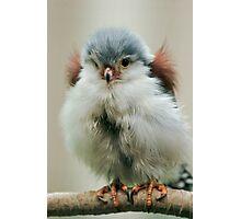 Pygmy Falcon Photographic Print