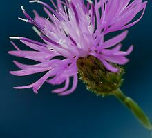Spotted Knapweed by Megan Noble