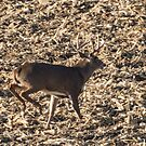 Deer Buck On The Run by Deb Fedeler