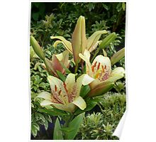 Pale Yellow Lilies Poster