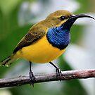 Male Sunbird by cathywillett